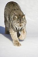 Canada Lynx walking down a snowy hill - CA