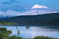 A mother Moose feeding in Wonder Lake as her timid newborn calf stays close.  Early summer in Denali National Park never gets dark at night.  This photograph was captured around 1 AM.