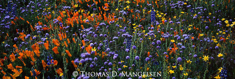 Poppies and other wildflowers in the Tehachapi Mountains of California.