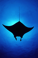 reef manta ray, Manta alfredi, silhouette, Little Cayman, Cayman Islands, Caribbean Sea, Atlantic Ocean