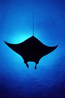 reef manta ray, Mobula alfredi, silhouette, Little Cayman, Cayman Islands, Caribbean Sea, Atlantic Ocean