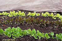 HS18-175z  Lettuce - polypropylene fabric row covering protecting young lettuces from cold, frost, insects, wind