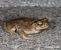 1101-0825  Adult Red-spotted Toad on Paved Road (Southwestern United States), Anaxyrus punctatus, formerly Bufo punctatus  © David Kuhn/Dwight Kuhn Photography.