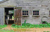 Donkey takes cover in a barn during rain, West Tisbury, Martha's Vineyard, Massachusetts, USA