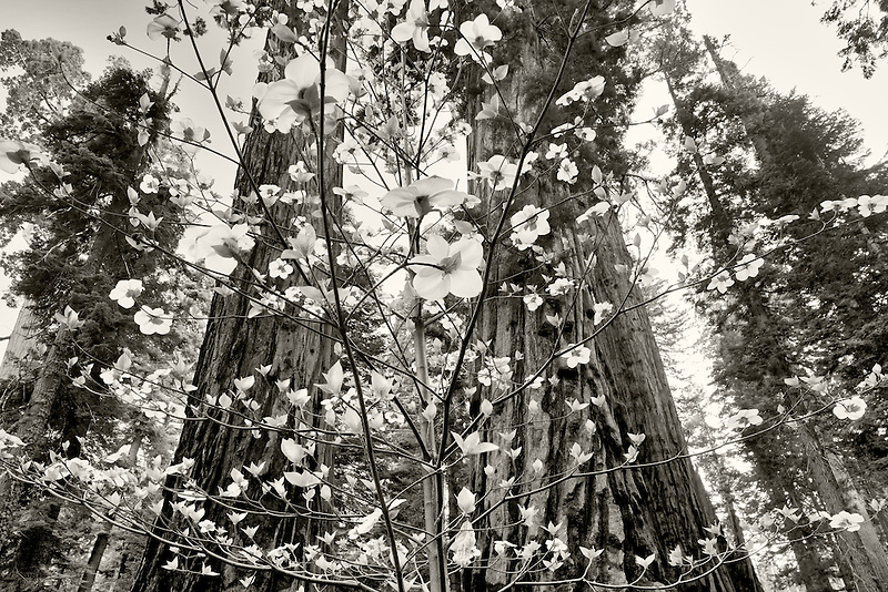 Pacific Dogwood (Cornus nuttallii) and Giant Sequoia (Sequoiadendron giganteum). Sequoia National Park, California
