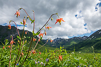 Columbines bloom at Hatcher Pass, north of Anchorage.