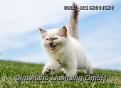 REALISTIC ANIMALS, REALISTISCHE TIERE, ANIMALES REALISTICOS, cats, paintings+++++,USLGSC162044524,#A#, EVERYDAY ,photos,fotos,pounce,cat,cats,kitten,kittens,Seth