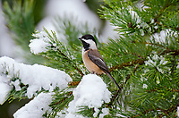 Black-capped Chickadee (Poecile atricapillus) on snowy, winter day.  Pacific Northwest.