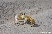0604-0906  Ghost Crab (Sand Crab) on Beach at Outer Banks in North Carolina, Ocypode quadrata  © David Kuhn/Dwight Kuhn Photography