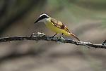 Great Kiskadee perched on a branch in South Texas.
