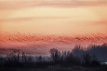 "Blur of Sandhill Crane ""eruption"" over the Platte River at sunrise"
