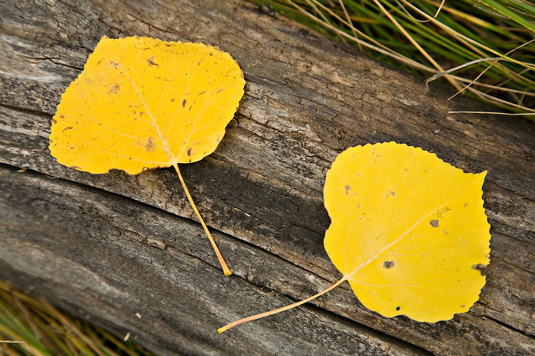 Aspen leaves rest on a fallen log in the Uncompahgre National Forest, Colorado