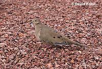 0724-1003  Mourning Dove in Arizona Desert, Zenaida macroura  © David Kuhn/Dwight Kuhn Photography