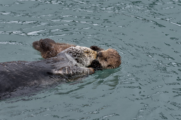 Sea Otter (Enhydra lutris) mom with young pup in sheltered bay on Prince William Sound, Alaska.  Spring.   Mom has been diving for food and before she dives again she usually comes over and checks her pup.
