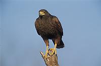Harris's Hawk, Parabuteo unicinctus, adult, Willacy County, Rio Grande Valley, Texas, USA, May 2004
