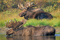 moose, Alces alces, bulls with large antlers one in water the other in grass on a bank, Denali National Park,, Alaska, USA