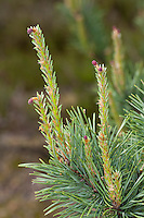 Wald-Kiefer, weibliche Blüten, Waldkiefer, Gemeine Kiefer, Föhre, Pinus sylvestris, Scots Pine
