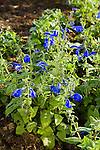 SALVIA PATENS 'OXFORD BLUE', GENTIAN SAGE
