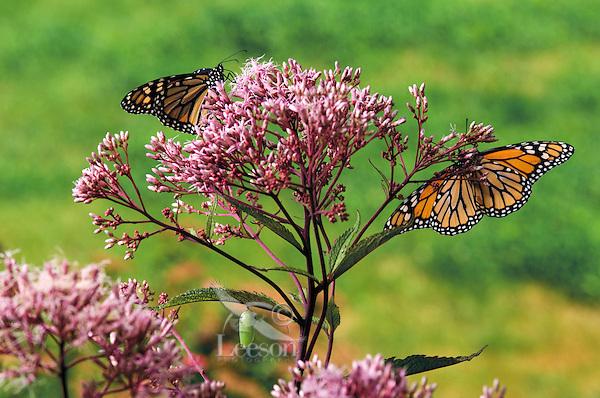 MONARCH BUTTERFLY life cycle..Adult butterflies with Chrysalis on Joe-Pye Weed leaf..North America. Danaus plexippus.