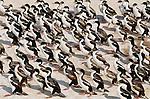 Royal shags, Falkland Islands (Digital composite)