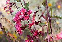 Clarkia unguiculata (Elegant Clarkia) California native wildflower in pollinator garden at Los Angeles Natural History Museum