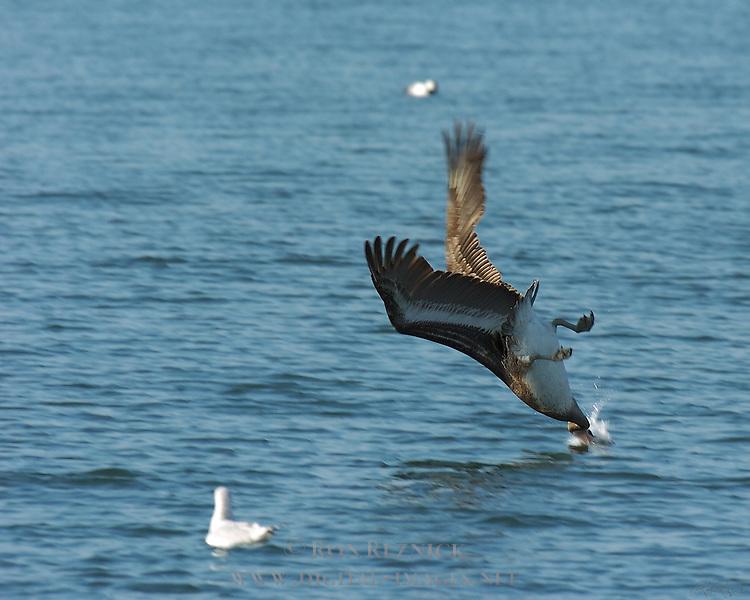 Brown Pelican Hunting Dive, California Brown Pelican, Pelecanus occidentalis californicus, Bolsa Chica Wildlife Refuge, Southern California