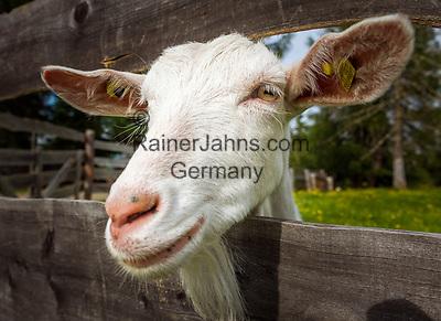 Italy, South Tyrol (Trentino - Alto Adige), near La Valle: goat cheese produced at Pra d'Armentara (Armentara-Meadows) | Italien, Suedtirol, bei Wengen: Ziegenkaese wird auf den Armentara-Wiesen (Pra d'Armentara) produziert