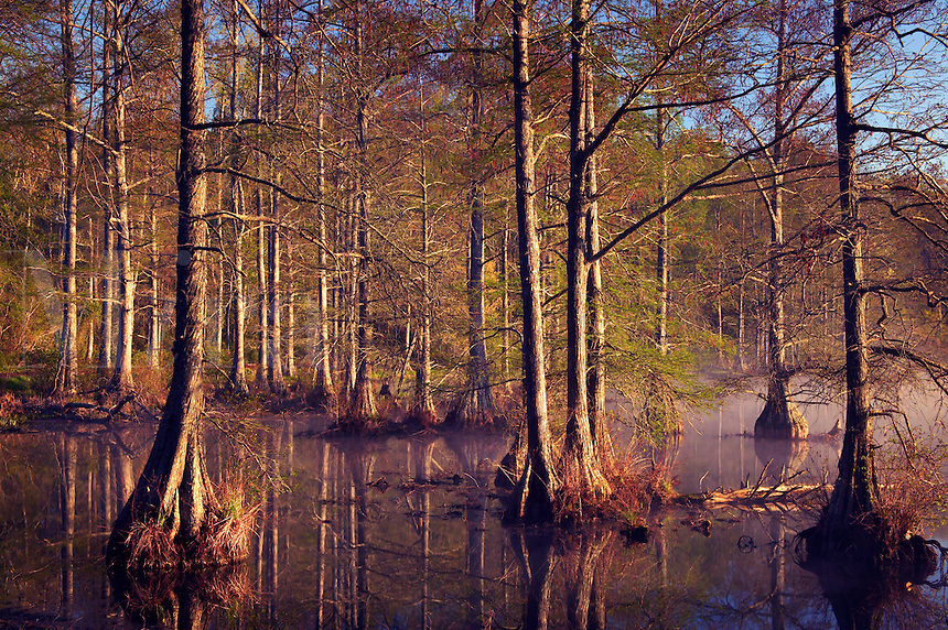 Bald cypress trees in Spring Lake, Wall Doxey State Park, Mississippi