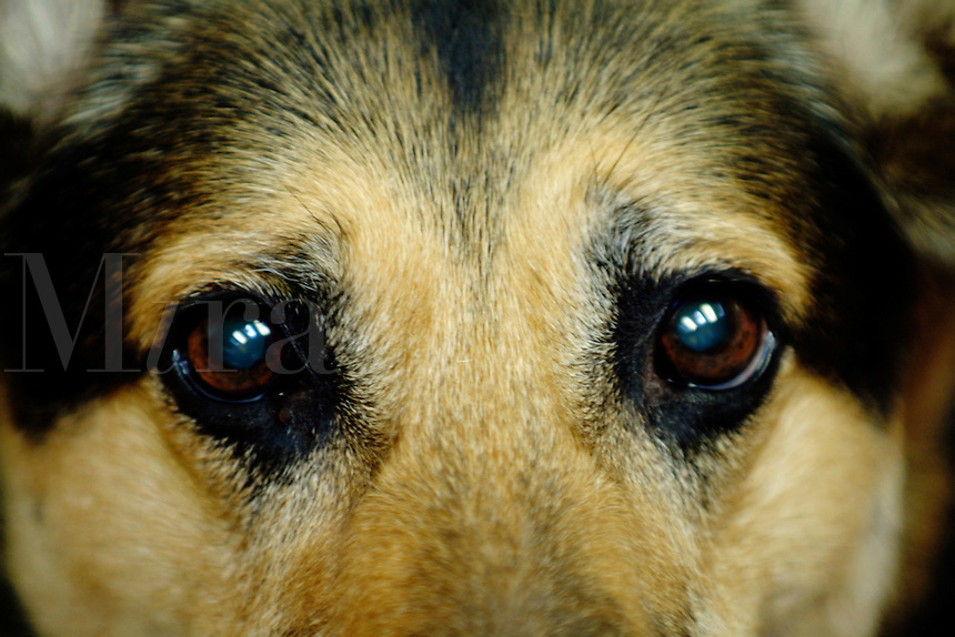 Closeup of the eyes of an eleven year old German Shepherd.