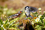 Chaffinch vs Great Tit battle for food by Ivor Ottley