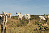 Aguas Lindas, Goias, Brazil. Cattle in cerrados area.