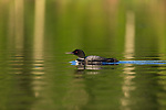 Common loon swimming in a northern Wisconsin lake.