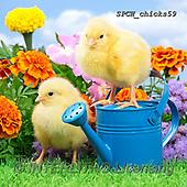 Xavier, EASTER, OSTERN, PASCUA, photos+++++,SPCHCHICKS59,#e#, EVERYDAY ,chicken