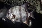 Atlantic Spadefish swimming left
