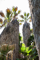 Washingtonia filifera, Desert fan palm or California fan palm , native tree in oasis garden at Rancho Santa Ana Botanic Garden