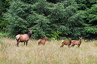 Roosevelt Elk (Cervus canadensis roosevelti) cow with calves (at least two belong to other cows in the herd)  standing in meadow.  Olympic National Park, WA.  Summer.