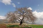 Israel, the Lower Galilee. Atlantic Pistachio (Pistacia Atlantica) tree in Beth Natofa valley
