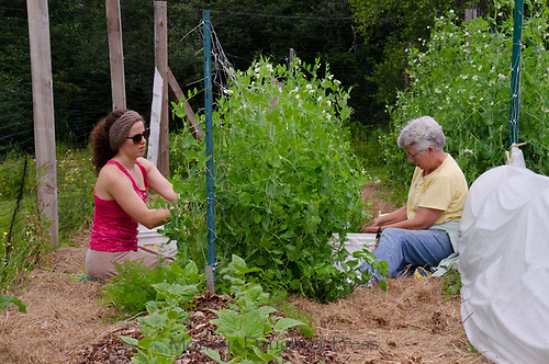 Two women picking peas and talking in community garden, Maine