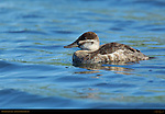 Ruddy Duck Juvenile, Sepulveda Wildlife Refuge, Southern California