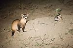 Two black-footed ferrets at a burrow in Buffalo Gap National Grasslands, South Dakota.