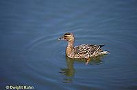 DG08-020z  Mallard Duck - female swimming - Anas platyrhynchos