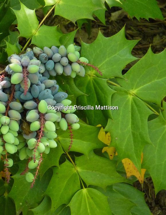 Closeup of Oregon-grape