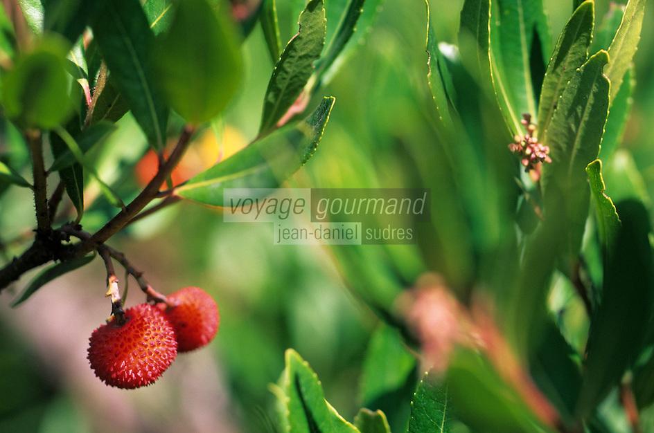 Europe/Provence-Alpes-Côte d'Azur/83/Var/Ile de Port-Cros/Parc National: Détail d'un arbousier et de ses fruits
