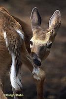 MA11-105z   White-tailed Deer - cleaning leg - Odocoileus virginianus