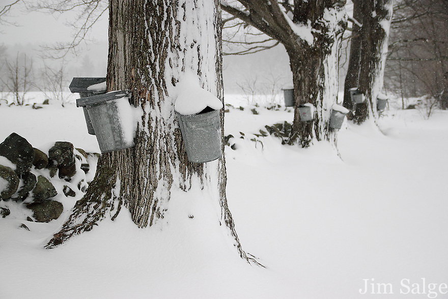 Spring snow falls on a row of tapped maple trees in Southern New Hampshire.