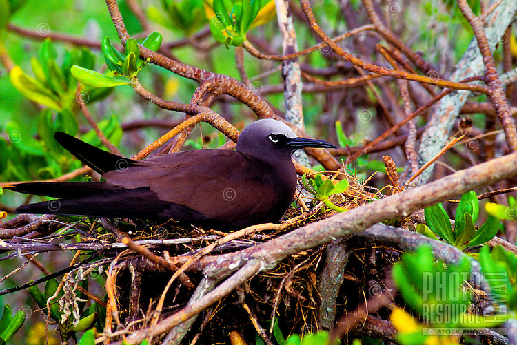 The brown noddy or noio koha, (anous stolidus pileatus). Nests on offshore inlets and the northwest Hawaiian chain.
