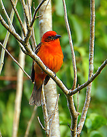 Adult male flame-colored tanager