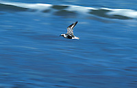 Black bellied plover flight over surf, Florida