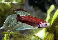 BY02-044z  Siamese Fighting Fish - male - Betta splendens