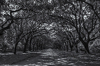 Live Oak trees draped with Spanish Moss line the entrance road to Wormsloe Plantation in Savannah, Georgia.
